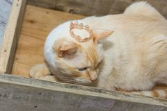Thai cat wearing crown sits in wooden box. Thai white with red marks cat with blue eyes wearing golden crown on his head sits in wooden box close-up shallow Stock Photos