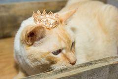 Thai cat wearing crown sits in wooden box. Thai white with red marks cat with blue eyes wearing golden crown on his head sits in wooden box close-up shallow Stock Photo
