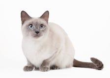 Thai cat on white background Royalty Free Stock Image