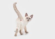 Thai cat on white background Stock Photo