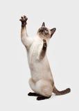 Thai cat on white background. Playing Thai cat on white background royalty free stock photo
