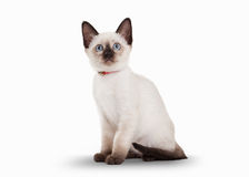 Thai cat on white background Royalty Free Stock Photos