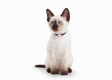 Thai cat on white background Stock Images