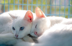 Thai cat. White color Thai Cat in cage Stock Photography