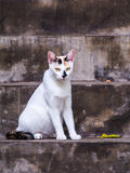 Thai cat Royalty Free Stock Photo