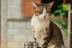 Thai cat Royalty Free Stock Image