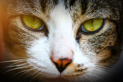 Close-up of Shorthair thai cat face. The Thai cat or Wichien Maat is a newly renamed but old cat breed, related to but distinct from the Western, modern Siamese royalty free stock images