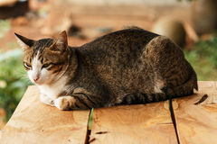 Thai cat  on a wooden board. Stock Images