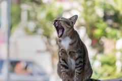 Thai cat yawning with a wide mouth. stock photo