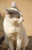 Thai cat with yellow eyes,Thai kitten royalty free stock images