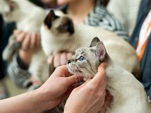 Thai cats at cat show in expert hands. Foreground stock images