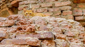 Thai cats hiding in ancient ruins. Stock Photo