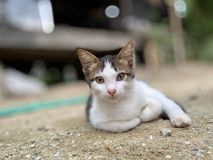 Thai cats are kept for beauty. (Photos&#x29 stock photography