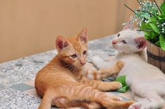 Young cats play. Thai cats play hide and seek Looking around.Smart Cat.Tabby cat plays on the floor.Little white cat and brown are fun to play with Stock Photography