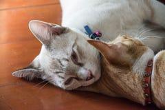 Thai cats sleep on floor Stock Photography