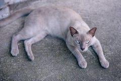 Thai Cats Royalty Free Stock Photo