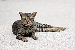 Thai Cats Staring. Royalty Free Stock Photo