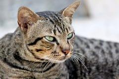Thai Cats Staring. Royalty Free Stock Photo