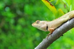 Thai chameleon Royalty Free Stock Images