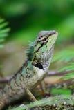 Thai chameleon Royalty Free Stock Photo