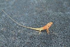Thai chameleon Stock Image