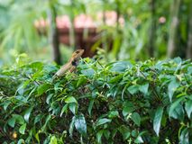 Thai chameleon on a branch of a tree. Close up of Thai chameleon on a branch of a tree Stock Photography
