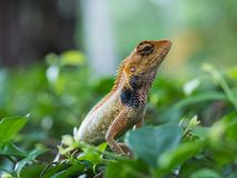 Thai chameleon on a branch of a tree. Close up of Thai chameleon on a branch of a tree Royalty Free Stock Image