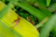 Thai Chameleon Stock Images