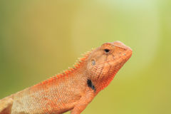 Thai chameleon Stock Photography