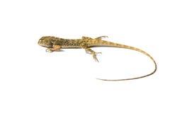Thai chameleon isolate Stock Image