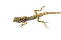 Thai chameleon isolate Stock Photo