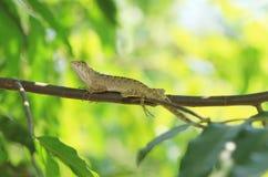 Thai chameleon Royalty Free Stock Images