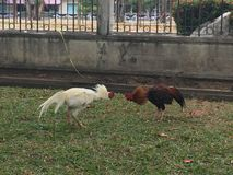 Thai Chicken Fight. Two chickens fighting Royalty Free Stock Images