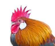 Thai chicken (Red Junglefowl) Stock Images