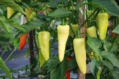 Thai chilli Stock Image