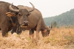 Thai buffaloes. Thai water buffaloes in the farm Royalty Free Stock Images