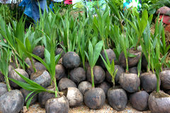 Thai coconut with plants. On Agriculture fair stock images