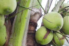 Thai coconuts Stock Photo