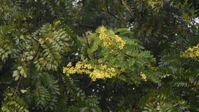 Thai Copper Pod flower with rain stock footage