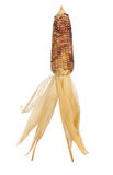 Thai corn isolated on white background Stock Photo