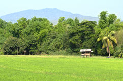 Thai cottage and green rice field Royalty Free Stock Photo