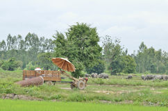 Thai country tractor. On rice field Stock Photo