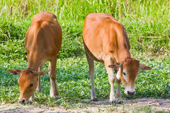 Thai cow Royalty Free Stock Images