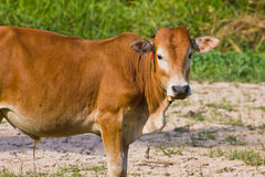 Thai cow Stock Image