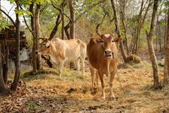 Thai Cow Agriculture. On The Fields Royalty Free Stock Images