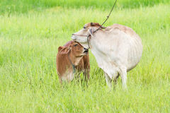 Thai cow and calf Royalty Free Stock Image
