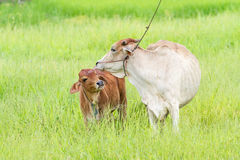 Thai cow and calf Royalty Free Stock Photo
