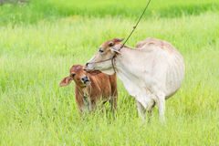 Thai cow and calf Stock Image