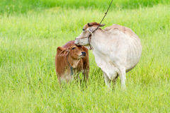 Thai cow and calf. Thai mother cow and calf stay on the field Royalty Free Stock Photos