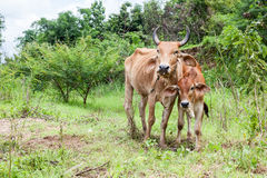 Thai cow and calf. Thai mother cow and calf stay on the field Stock Image